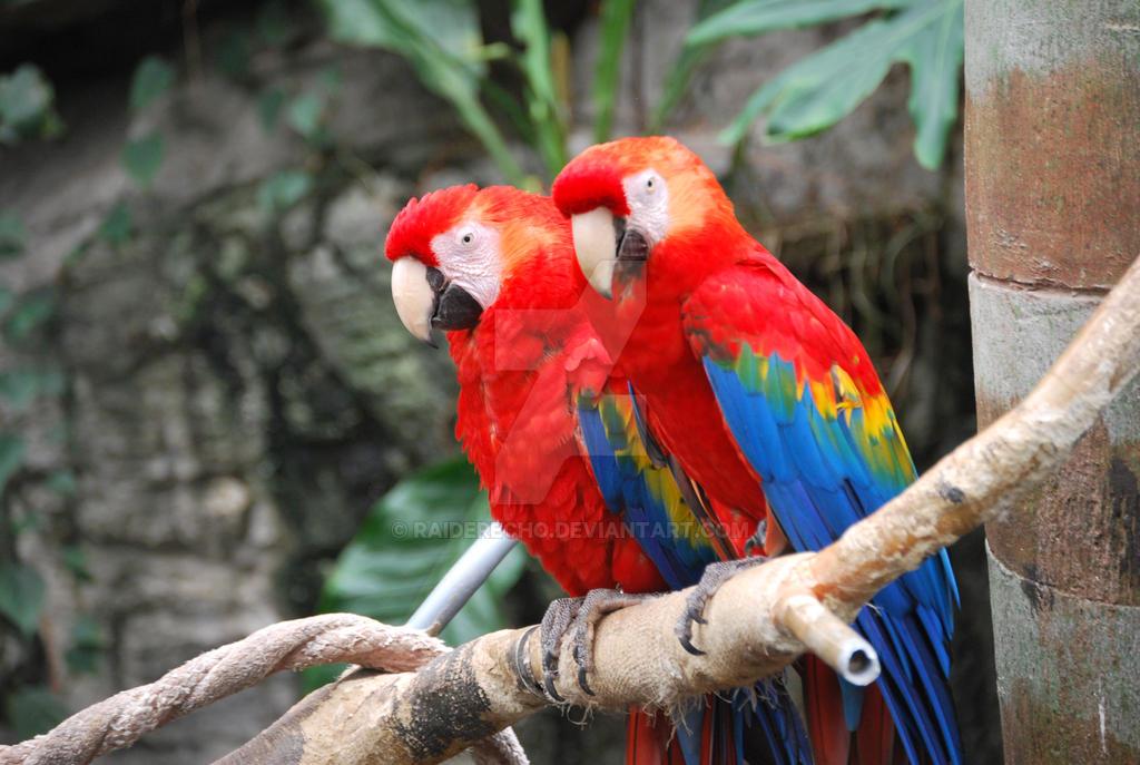 Pair of Scarlet Macaws by Raiderecho on DeviantArt