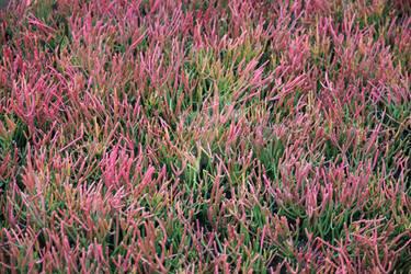 Firesticks Succulents