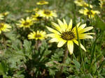 Wild Daisys by miss-limp-a-lot