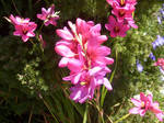 Pink flowers. by miss-limp-a-lot