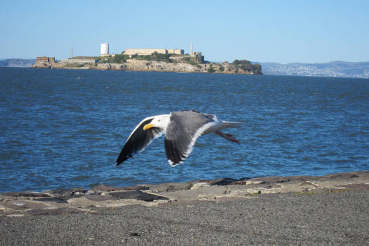 San Francisco - Alcatraz bird