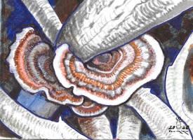 Tramestes versicolor