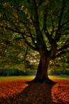 Sunrise behind the beech tree