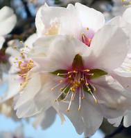 Almond flower close up by shilaktit