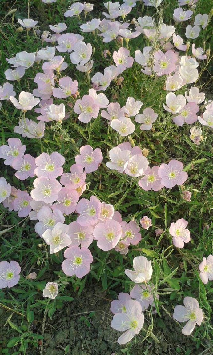 Field Of Pink Flowers By Gigi28 On Deviantart