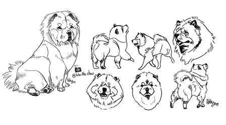 Chow Chow sketches