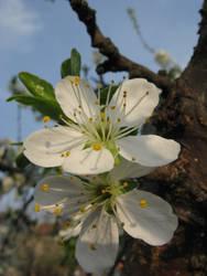 Apple blossoms by mozilla-fan