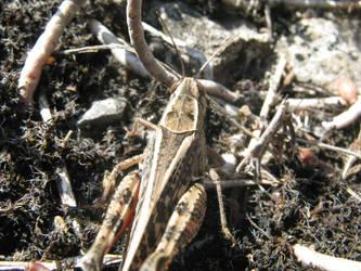 Grasshopper by mozilla-fan