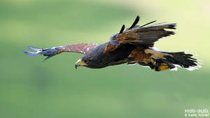 Harris Hawk IV by Daniel-Volpert