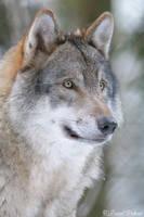 Wolf 6