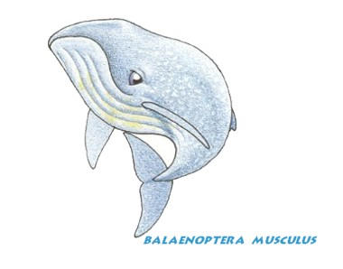 Blue Whale Clip Art by neoecco