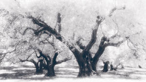 Into the Olive Grove