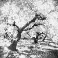 Into the Olive Grove II