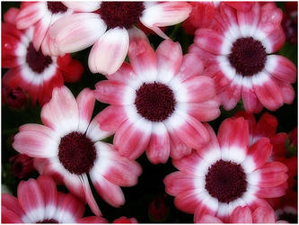 PINK AND WHITE DASIES by THOM-B-FOTO