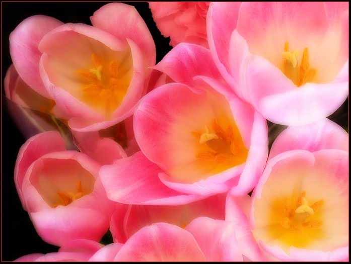 PINK TULIPS 5 by THOM-B-FOTO
