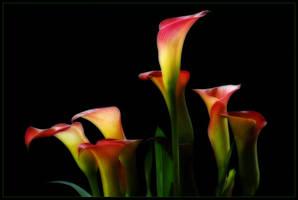 MEERCAT LILIES by THOM-B-FOTO