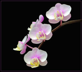 ORCHIDS 25