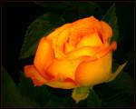 ORANGE ROSE 9