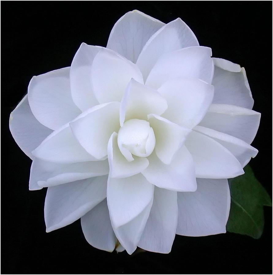 WHITE CAMELLIA 1 26 11 by THOM-B-FOTO