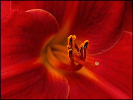 RED FLOWER by THOM-B-FOTO