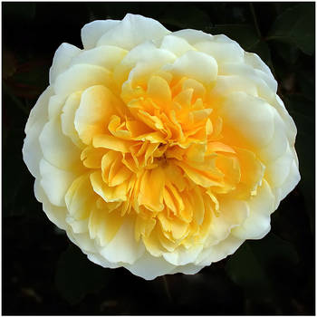 YELLOW ROSE by THOM-B-FOTO