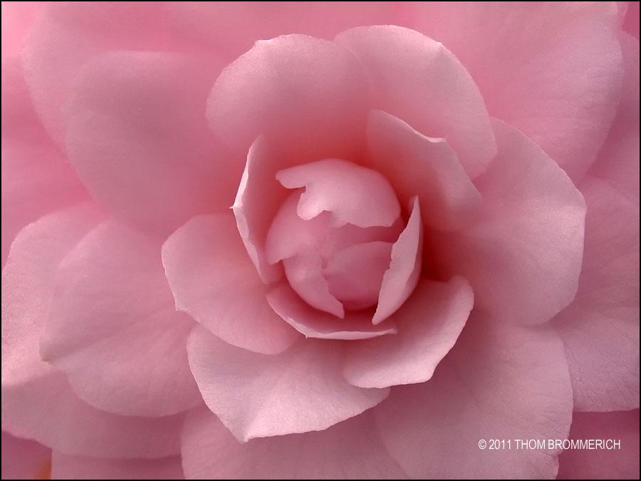 PINK CAMELIA by THOM-B-FOTO