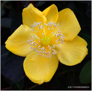 YELLOW FLOWER by THOM-B-FOTO