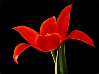 RED TULIP by THOM-B-FOTO