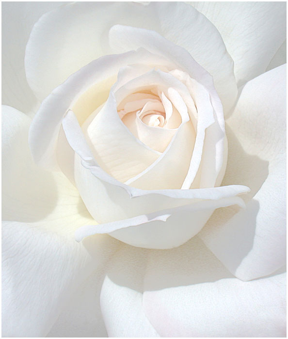 WHITE ROSE by THOM-B-FOTO