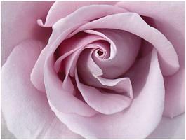 LAVENDER ROSE by THOM-B-FOTO