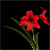 RED AMARYLLIS 4 by THOM-B-FOTO