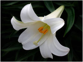 EASTER LILY by THOM-B-FOTO