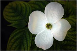 DOGWOOD FLOWER by THOM-B-FOTO