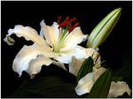 ASIATIC LILY 2