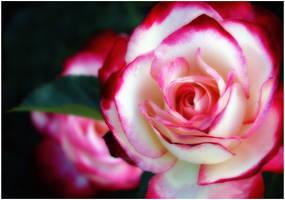 PEPPERMINT ROSE by THOM-B-FOTO