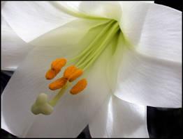 WHITE LILY by THOM-B-FOTO