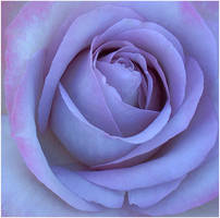 BLUISH ROSE by THOM-B-FOTO