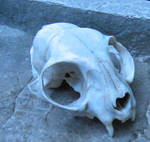 The cat skull