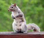 Squirrel Stock 2