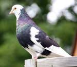 Pigeon Stock