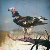 White-Headed vulture luv'