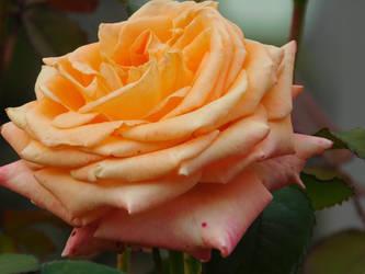 Orange Rose by Cheys-Photography