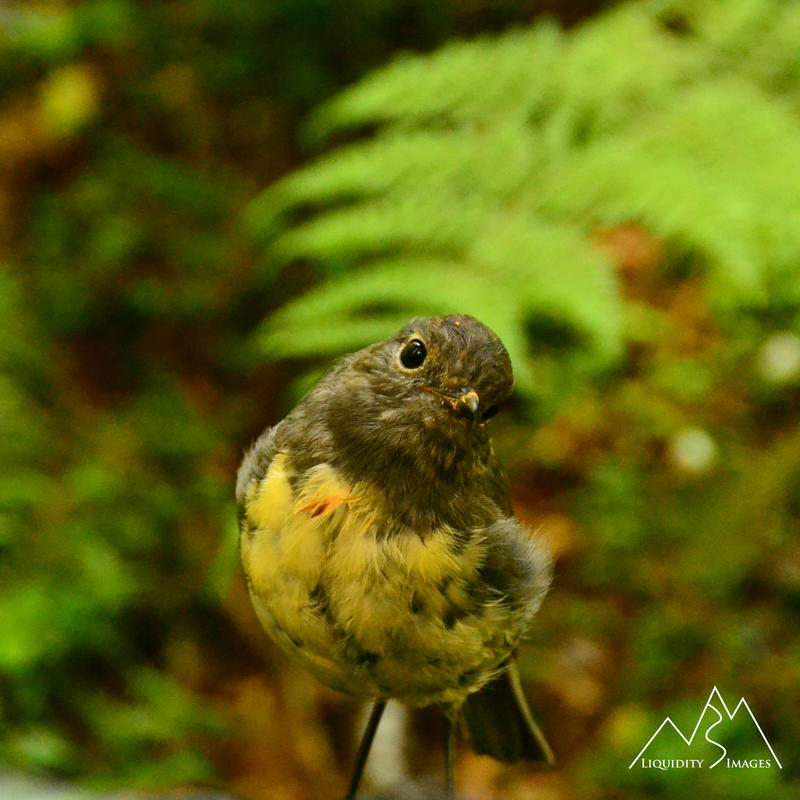 Robin by LiquidityImages