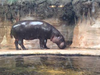 Hippo Stock #1 by DeepSeaBreakfast