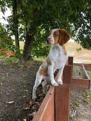 Brittany Puppy Stock 1 by DeepSeaBreakfast