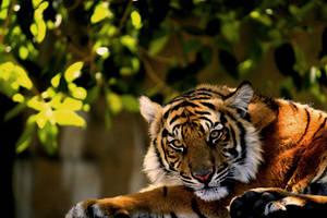 Sumatran Tiger 1449 by Snapshot89