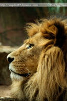 African Lion 0267 by Snapshot89