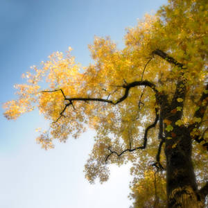Yellow Poplar Tree
