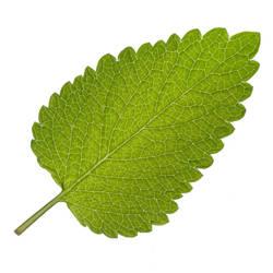 Lemon Balm Leaf by houselightgallery