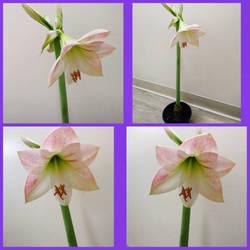 Apple Blossom pink amaryllis